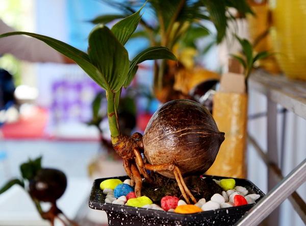 Một chậu Dừa bonsai được rao bán từ 150.000 - 700.000 đồng tùy loại