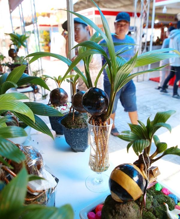 Ngoài trồng chậu, dừa bonsai còn được trồng thủy canh độc đáo