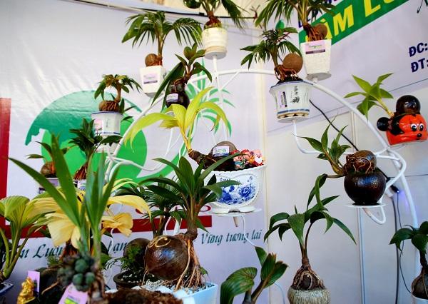 Độc đáo với dừa bonsai Bến Tre