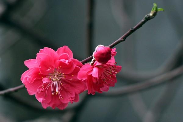 Hoa đào được coi là tinh hoa của ngũ hành, là biểu tượng cho sự sinh sôi, nảy nở, nhân duyên, lễ cưới