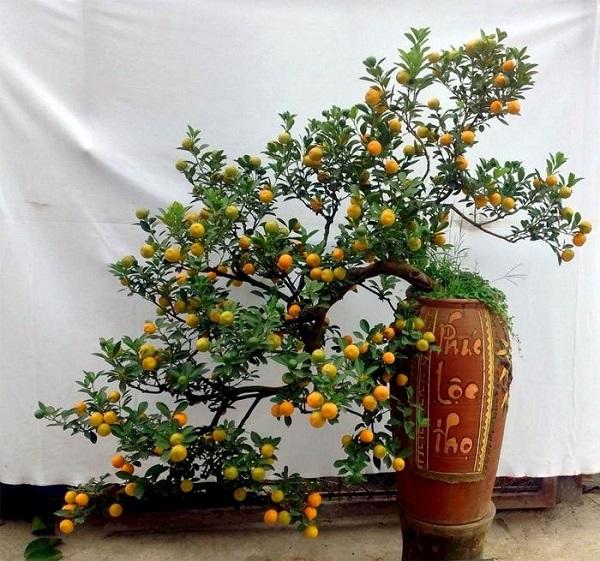 Mọi người trưng bày cây quất vì khi viết chữ có ý nghĩa là quý