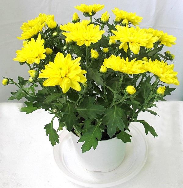 Hoa cúc tượng trưng cho sự trường thọ, phúc lộc dồi dào