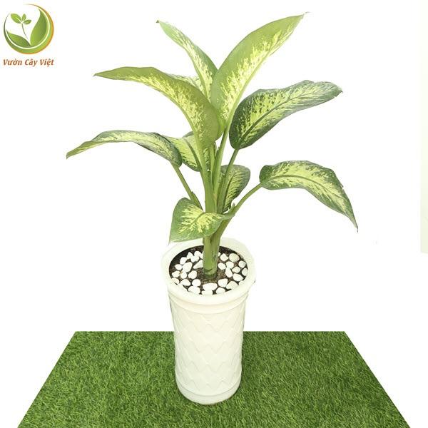Loài cây phong thủy này chính là tượng trưng cho sự cát tường, trường tồn