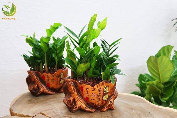 Cây Kim Tiền là cây phong thuỷ số 1 được lựa chọn làm cây cảnh trang trí ngày tết