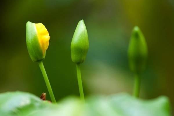 Cách chăm sóc cây mai trước, sau tết và cách xử lý khi mai suy, ít nụ