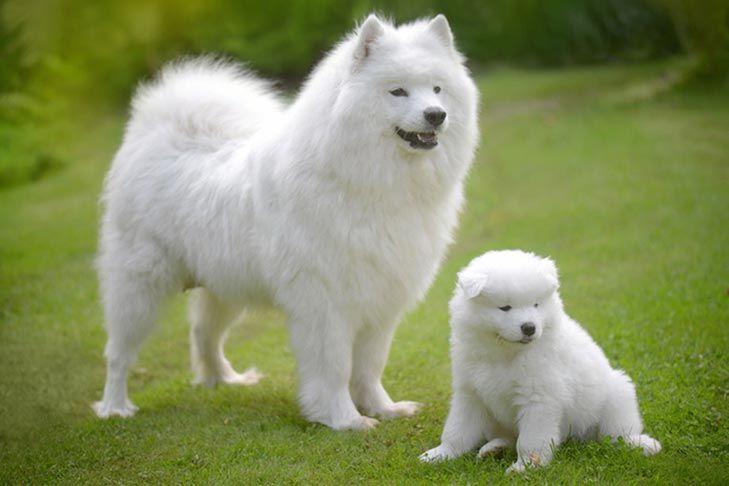 Xếp đệ tam cẩu tướng là những chú chó toàn bộ lông trắng như tuyết