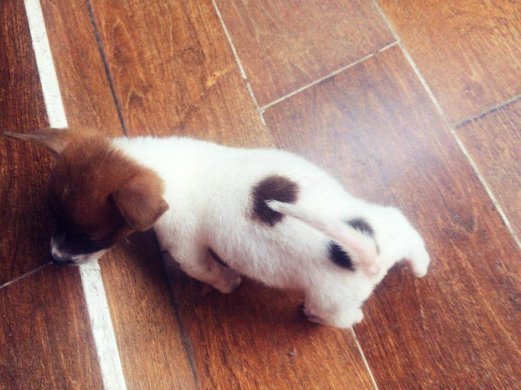 Chú chó bạch cẩu hoàng đầu thân bối nguyệt