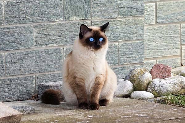 Mèo Xiêm có phần lông ở mặt, đuôi, tai, bàn chân có màu đậm hơn những vị trí khác