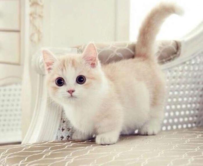 Mèo chân ngắn Munchkin khá thân thiện với con người và sống cực kỳ tình cảm