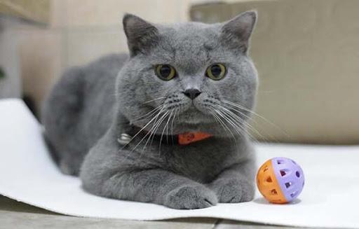 Người ta thích mèo Anh lông ngắn bởi nét đáng yêu và lười biếng của chúng