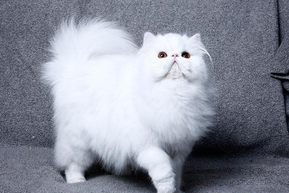 Mèo Ba Tư được ra làm 4 loại khác nhau: mèo Ba Tư lông dài, mèo Ba Tư lông ngắn, mèo Ba Tư Himalaya, mèo Chinchilla