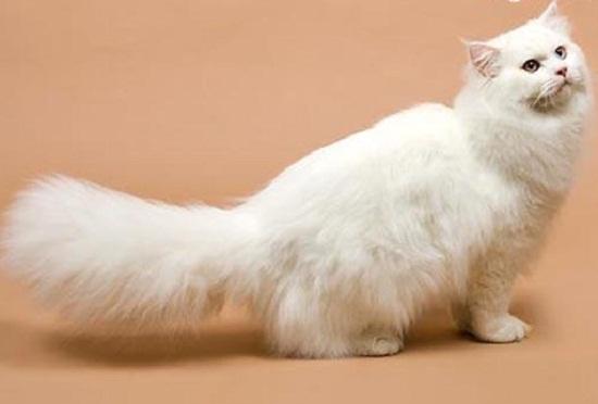 Mèo Anh lông dài được đánh giá là loài mèo cảnh đẹp, có ngoại hình vô cùng xinh xắn, dễ thương với bộ lông dài mềm mại