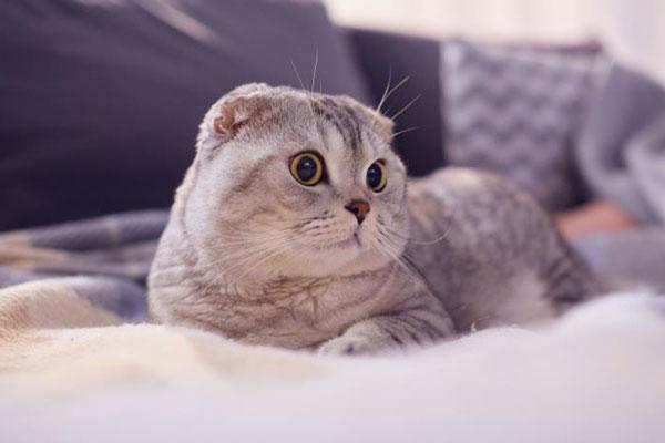 Mèo Scottish Fold đã khuấy đảo cộng đồng yêu mèo nhờ vào đôi tai cụp và ngoại hình dễ thương của mình