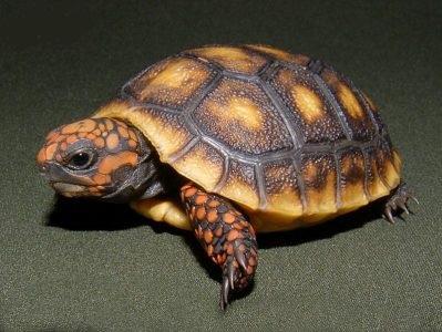 Rùa chân đỏ