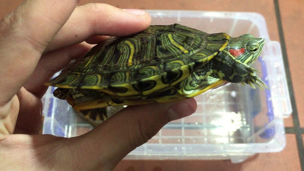 Rùa tai đỏ - Đặc điểm nhận dạng loài rùa này là ở vùng lưng, cổ của loài rùa này thường hay có mảng đỏ, trên mai rùa có những sọc vàng cam.