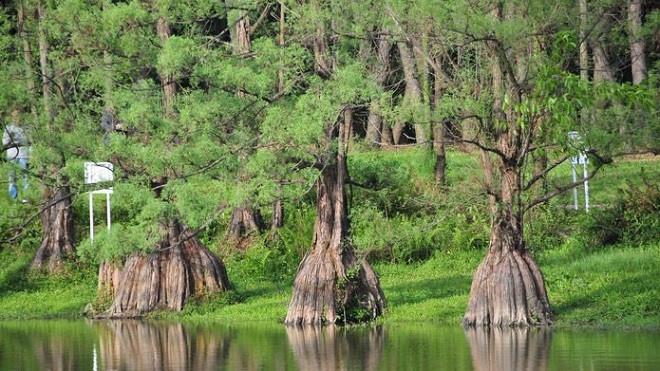 Cách trồng và nhân giống cây Thủy Tùng