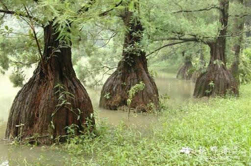 Cây gỗ quý Kim Thủy Tùng