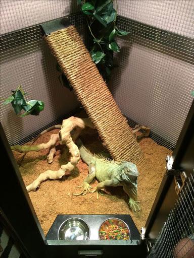Chuồng nuôi Iguana nên có một cành cây để chúng leo trèo