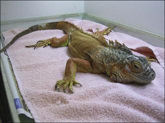 Hình ảnh một chú Iguana bị mất nước