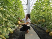 Khám phá mô hình trồng dưa công nghệ cao tại Thái Nguyên