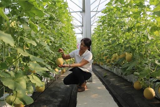 Mô hình trồng dưa công nghệ cao ở Thái Nguyên