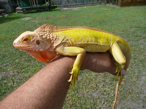 Cách chăm sóc Rồng Nam Mỹ Iguana