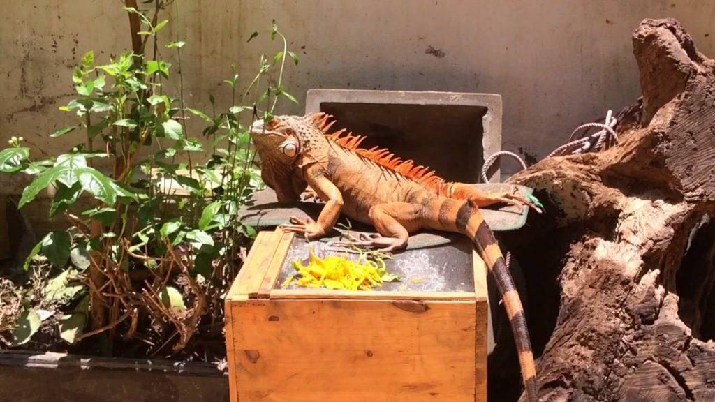 Nhiệt độ thích hợp khi nuôi nhốt Iguana là từ 25 - 28°C