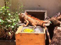 Kinh Nghiệm Chăm Sóc Rồng Nam Mỹ Iguana