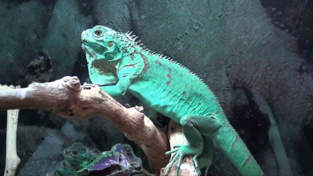 Rồng Nam Mỹ con kích thước từ 15 – 30cm thì khoảng 4 – 7tr
