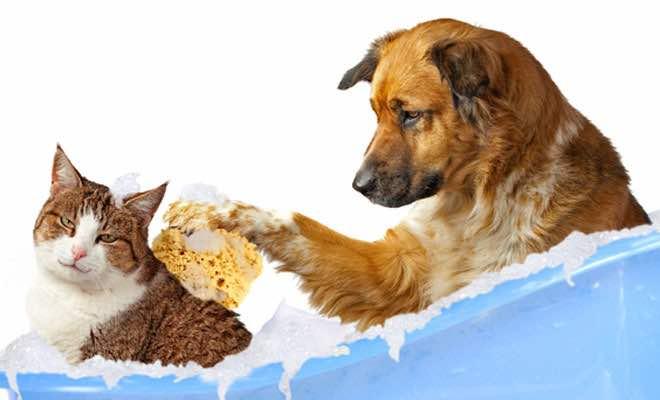 Có nên tắm cho chó mèo thường xuyên không?