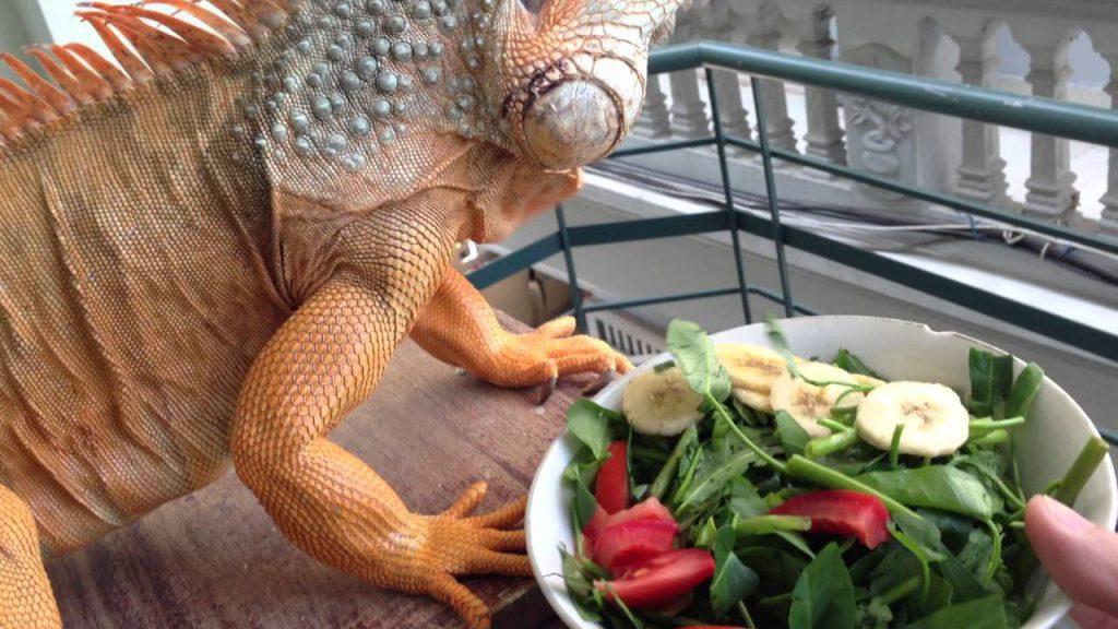 Igu rất háo ăn nên bạn cứ làm một cái máng bỏ đầy rau xanh