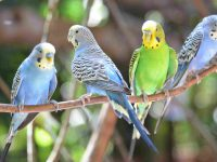 Cách nuôi và chăm sóc chim Hoàng Yến đúng cách